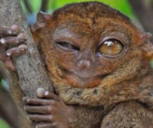 超可爱眼镜猴挤眉弄眼世界最小灵长类仅15厘米(组图)