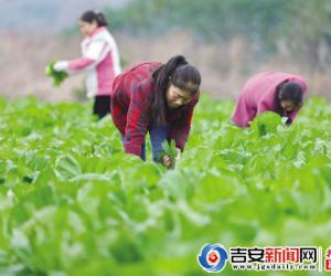 泰和:努力实现蔬菜丰产丰收  确保市场供应充足稳定