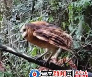 草鸮回家啦!——井冈山市公安局森林分局放飞国家二级保护动物小记