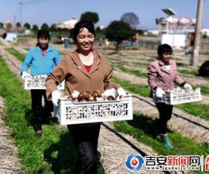 安福:大球盖菇种植经济效益可观